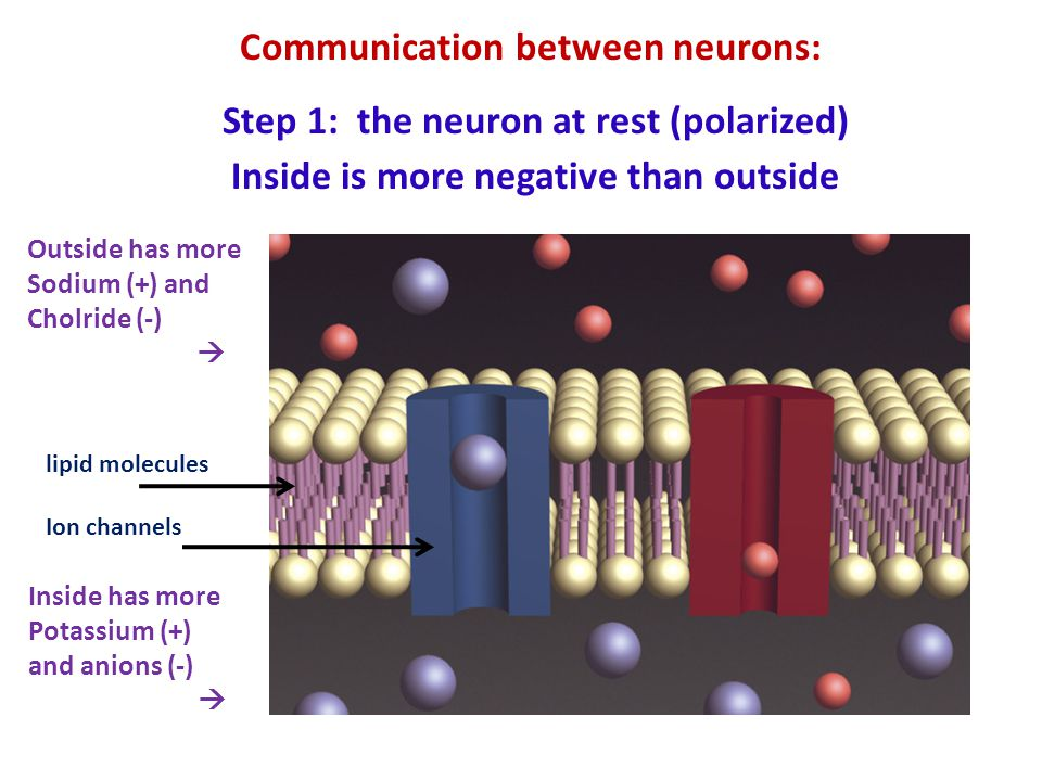Communication between neurons: Step 1: the neuron at rest (polarized)