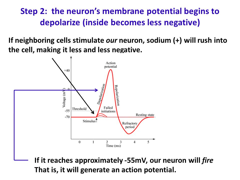 Step 2: the neuron's membrane potential begins to depolarize (inside becomes less negative)