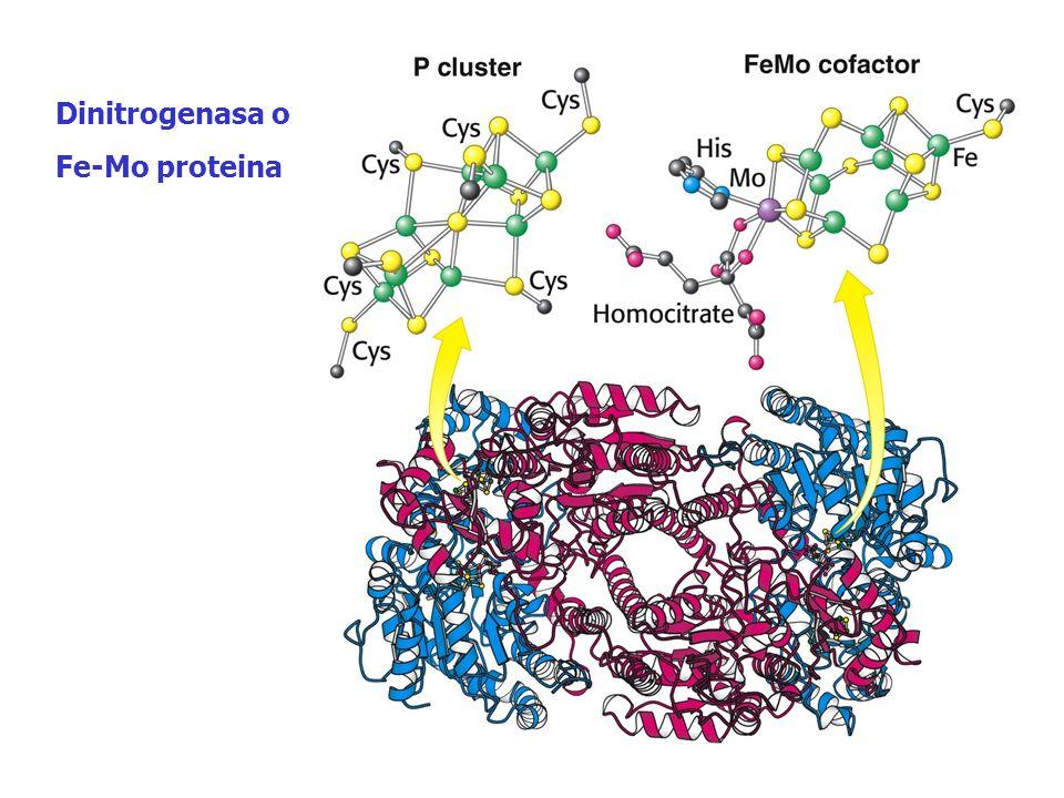 Dinitrogenasa o Fe-Mo proteina Dinitrogenasa o Fe-Mo proteina
