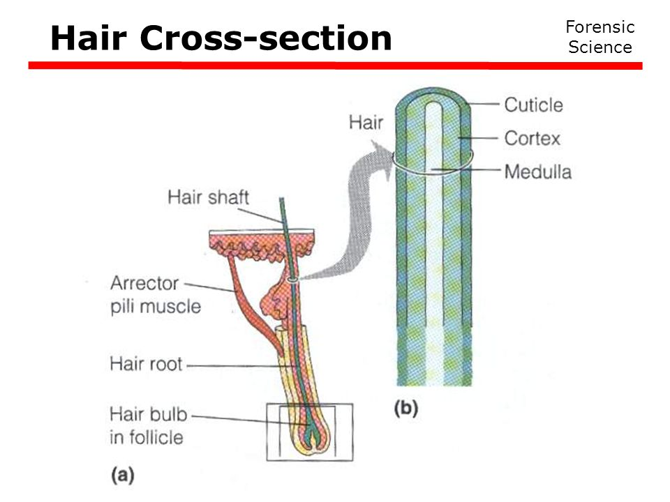 Hair Cross-section Forensic Science