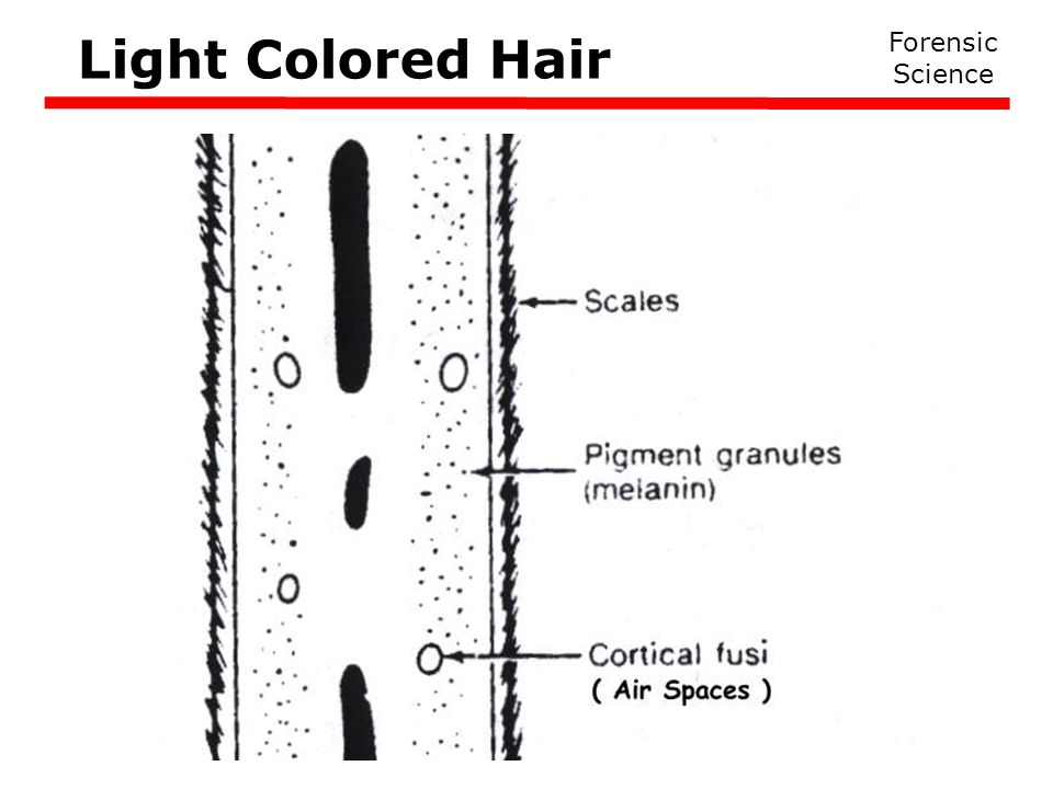 Light Colored Hair Forensic Science