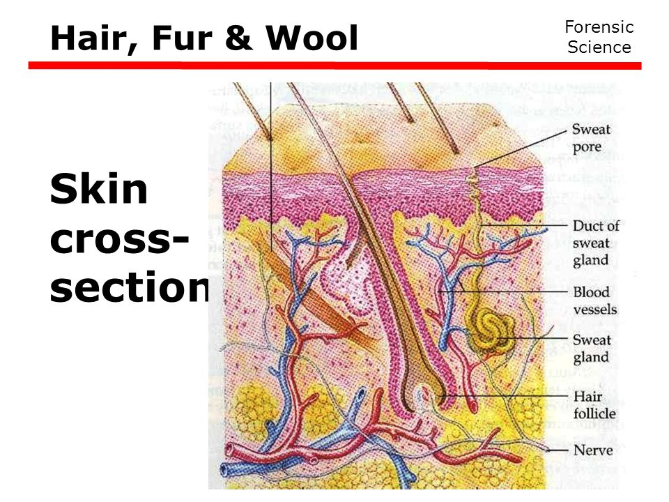 Hair, Fur & Wool Forensic Science Skin cross- section