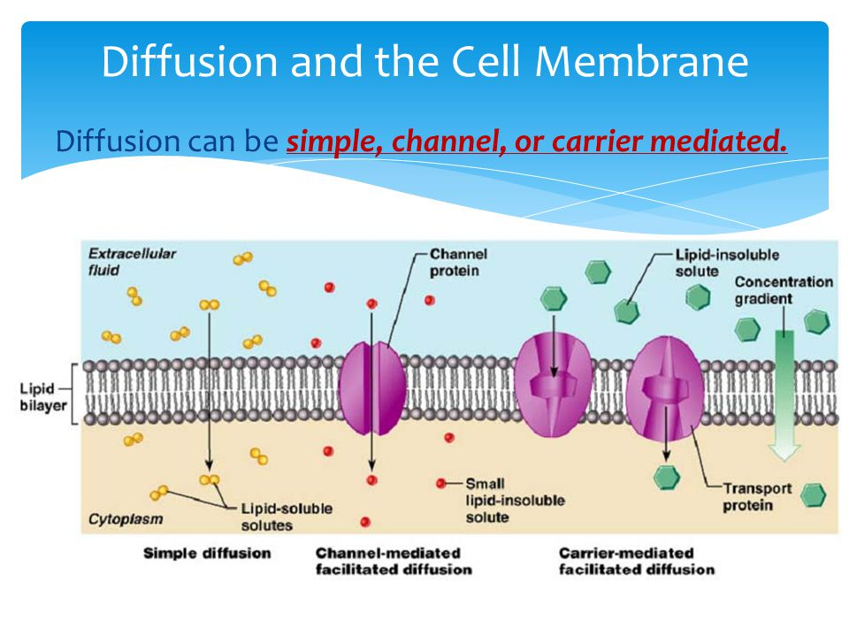 Diffusion and the Cell Membrane