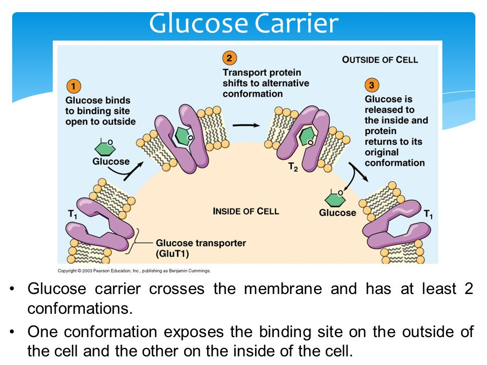 Glucose Carrier Glucose carrier crosses the membrane and has at least 2 conformations.