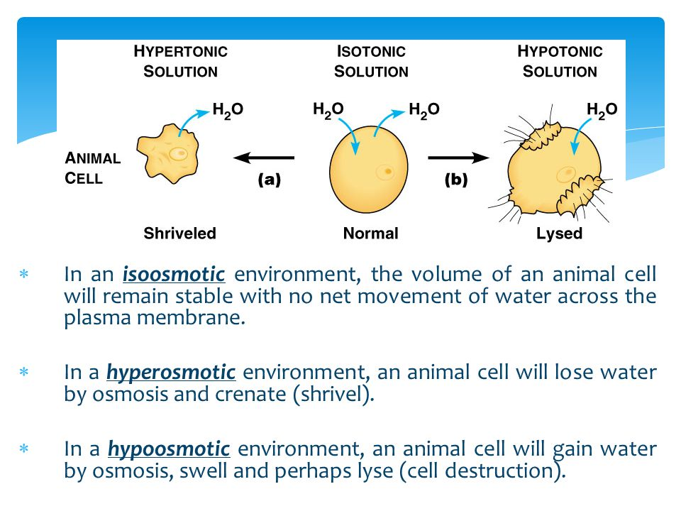 In an isoosmotic environment, the volume of an animal cell will remain stable with no net movement of water across the plasma membrane.
