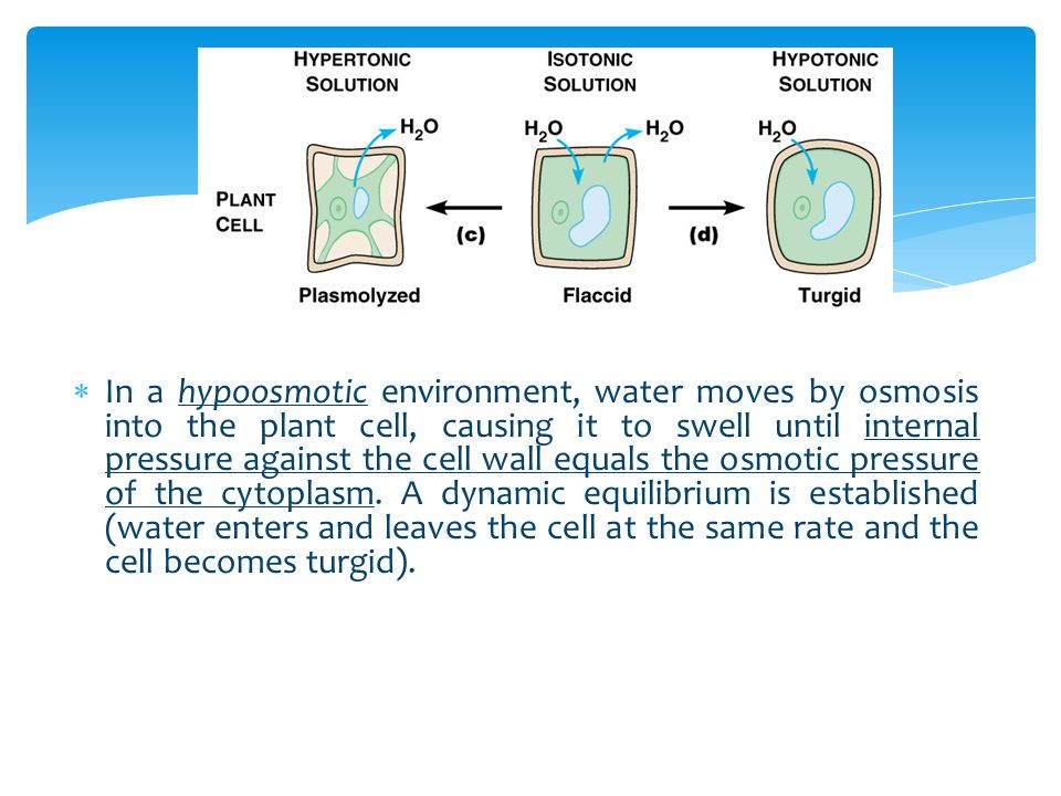 In a hypoosmotic environment, water moves by osmosis into the plant cell, causing it to swell until internal pressure against the cell wall equals the osmotic pressure of the cytoplasm.