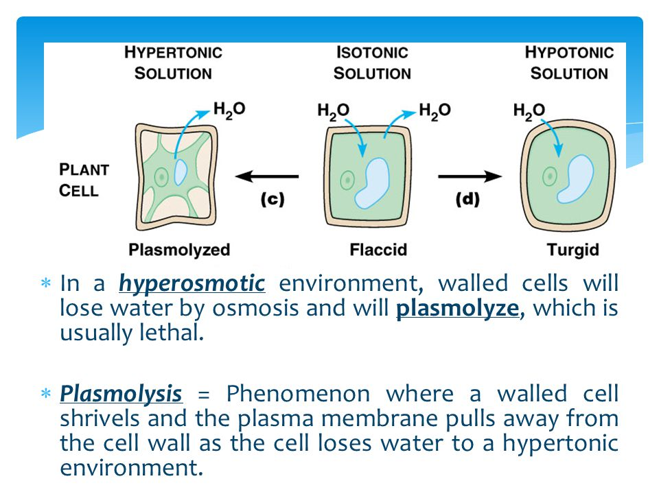In a hyperosmotic environment, walled cells will lose water by osmosis and will plasmolyze, which is usually lethal.
