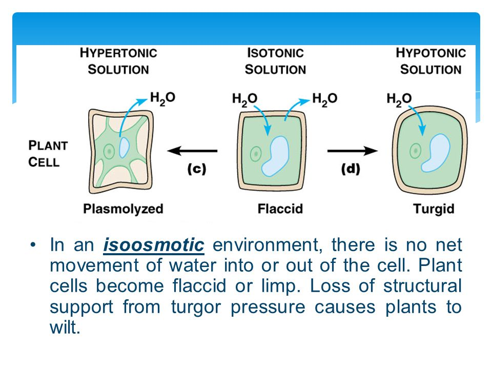 In an isoosmotic environment, there is no net movement of water into or out of the cell.