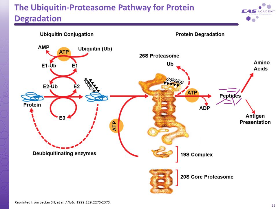 The Ubiquitin-Proteasome Pathway for Protein Degradation