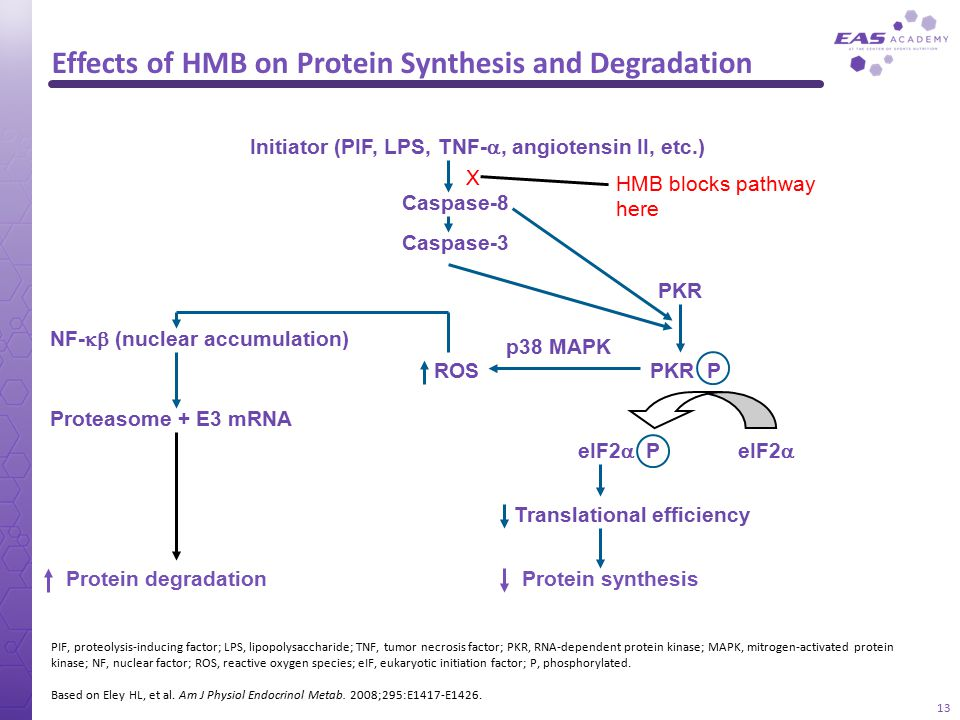 Effects of HMB on Protein Synthesis and Degradation