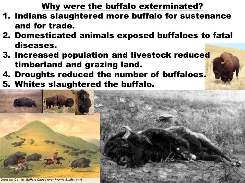Why were the buffalo exterminated