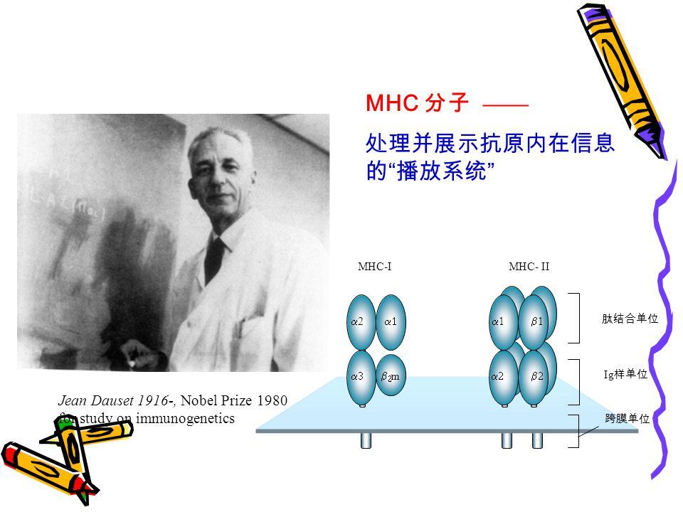 MHC 分子 —— 处理并展示抗原内在信息的 播放系统