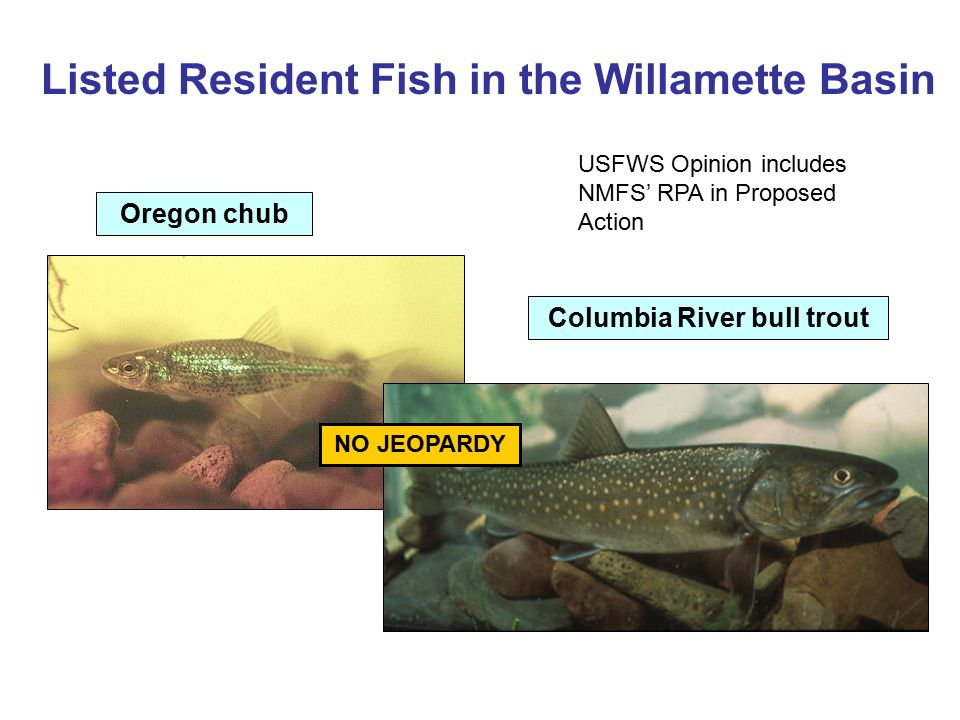 Listed Resident Fish in the Willamette Basin
