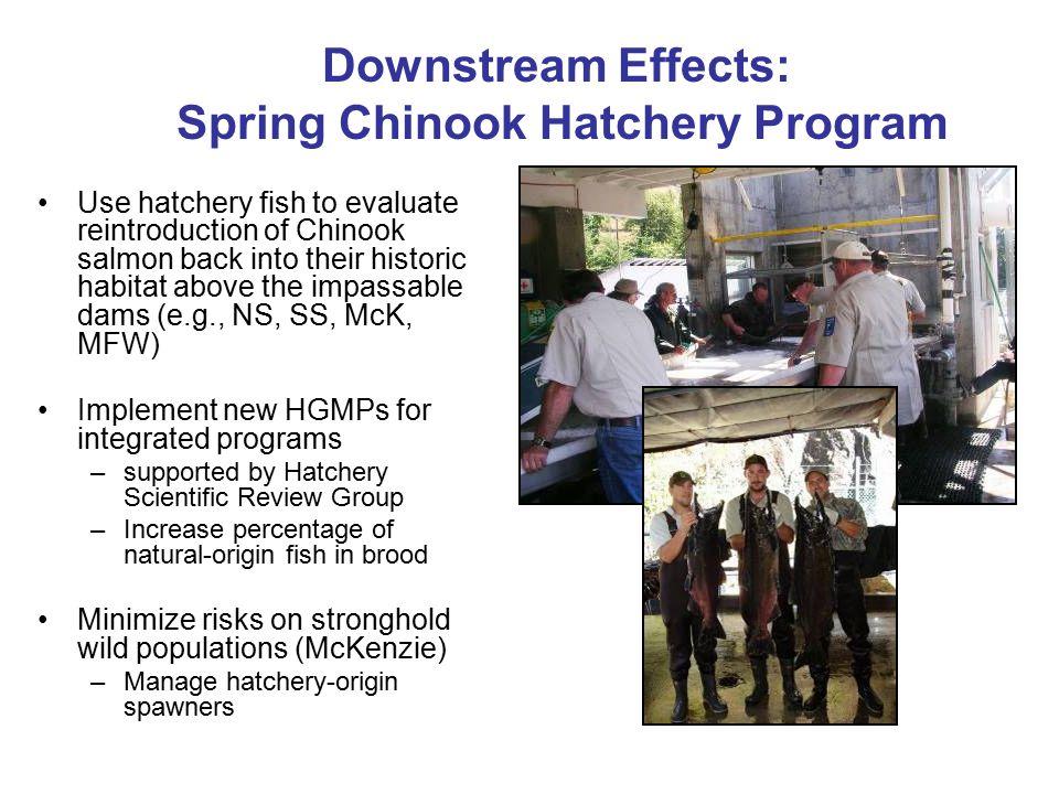 Downstream Effects: Spring Chinook Hatchery Program