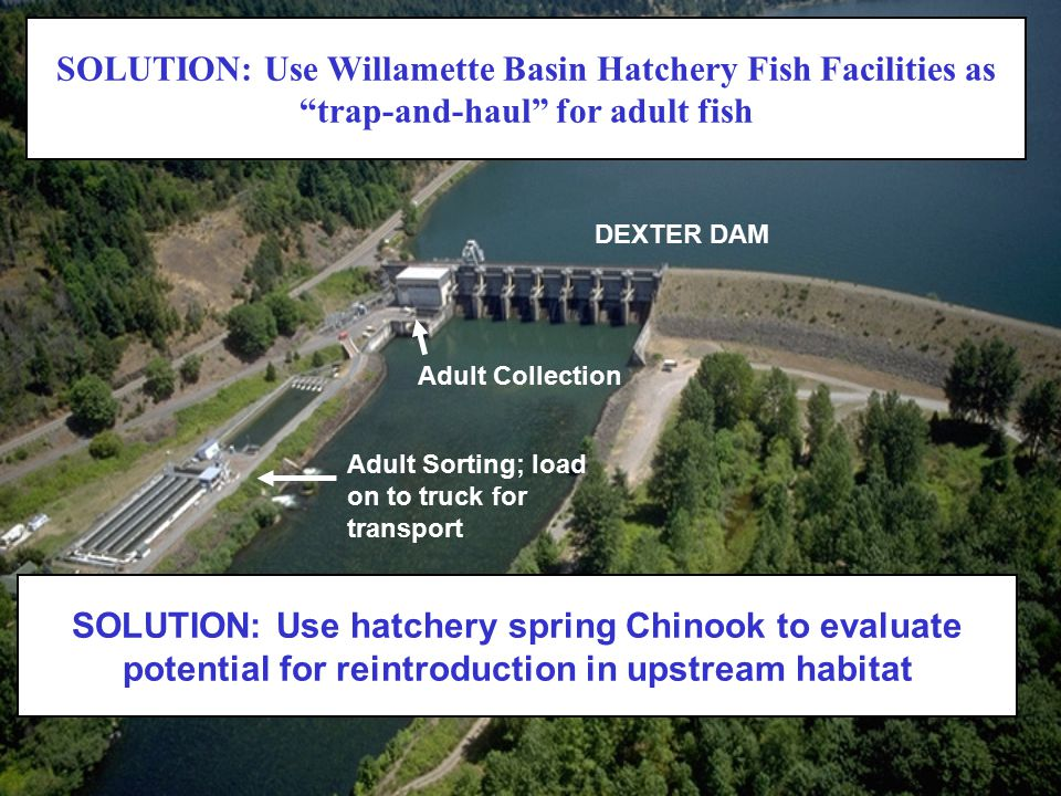 SOLUTION: Use Willamette Basin Hatchery Fish Facilities as trap-and-haul for adult fish