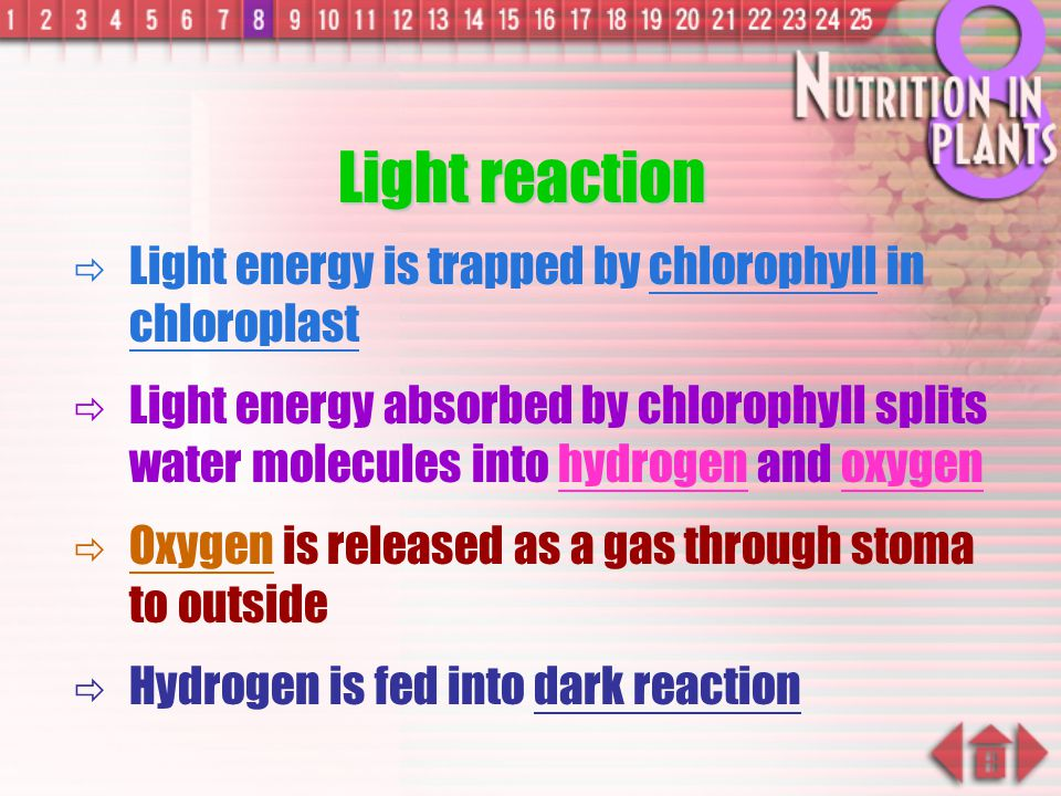 Light reaction Light energy is trapped by chlorophyll in chloroplast