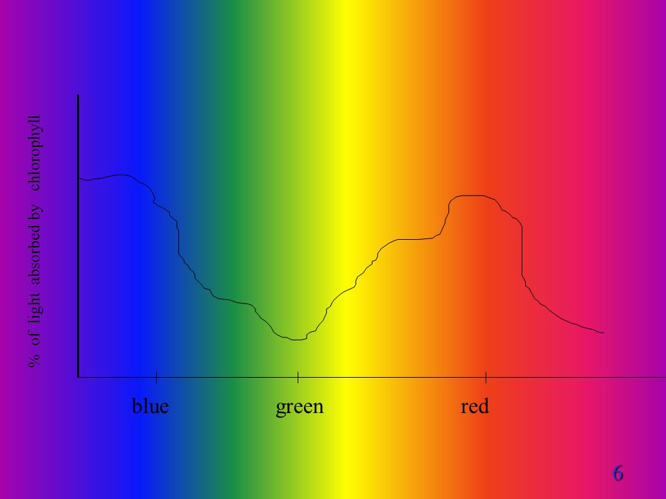blue red % of light absorbed by chlorophyll green 6