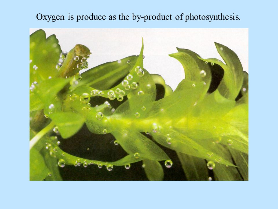 Oxygen is produce as the by-product of photosynthesis.
