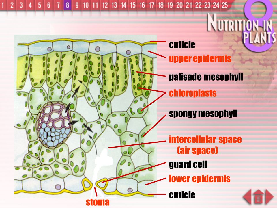 cuticle upper epidermis. palisade mesophyll. chloroplasts. spongy mesophyll. intercellular space (air space)