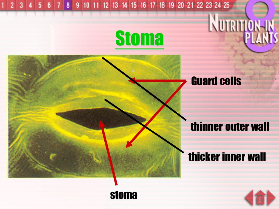 Stoma thinner outer wall Guard cells thicker inner wall stoma