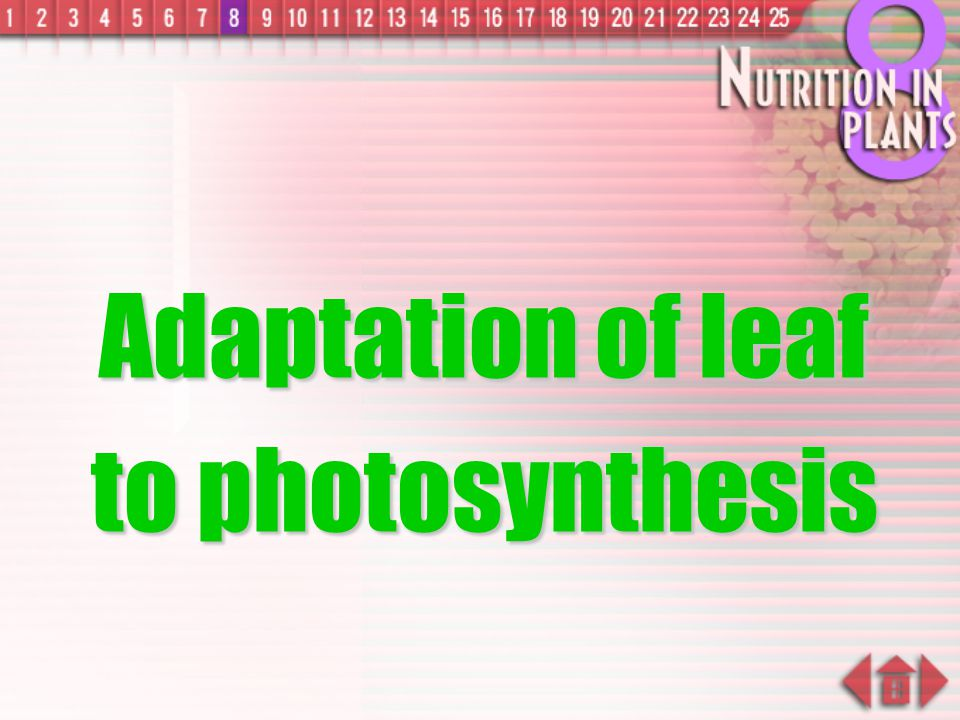 Adaptation of leaf to photosynthesis