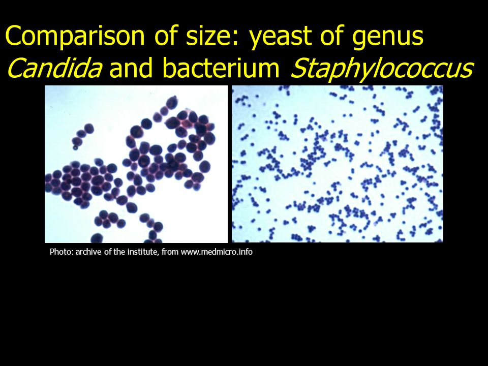 Comparison of size: yeast of genus Candida and bacterium Staphylococcus