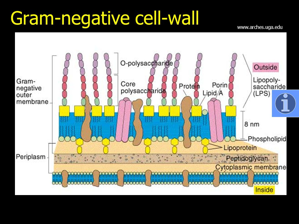 Gram-negative cell-wall