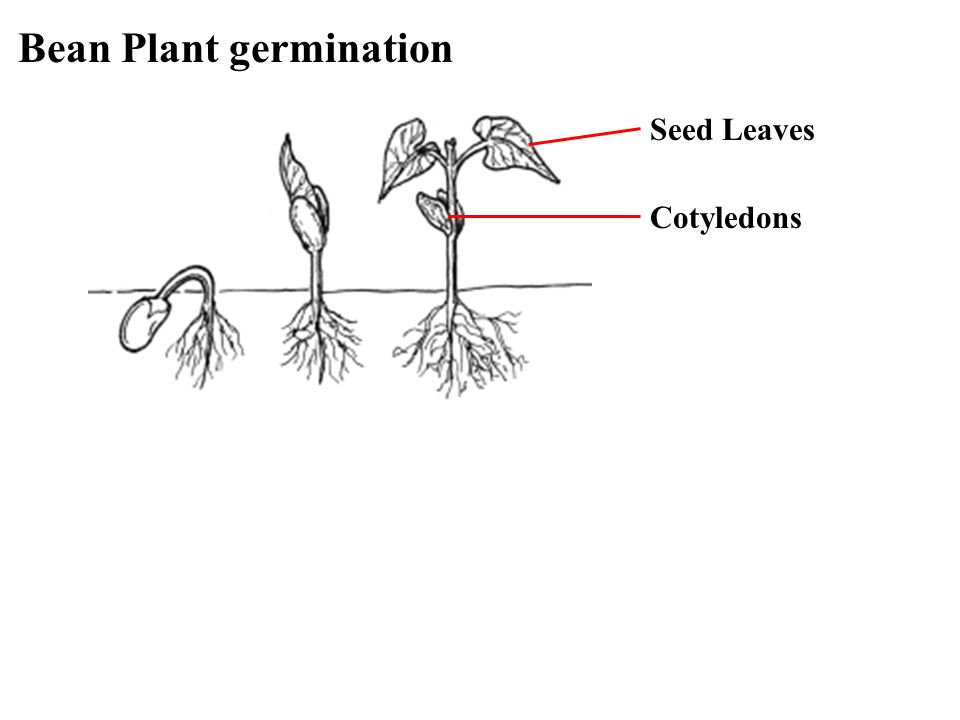 Bean Plant germination