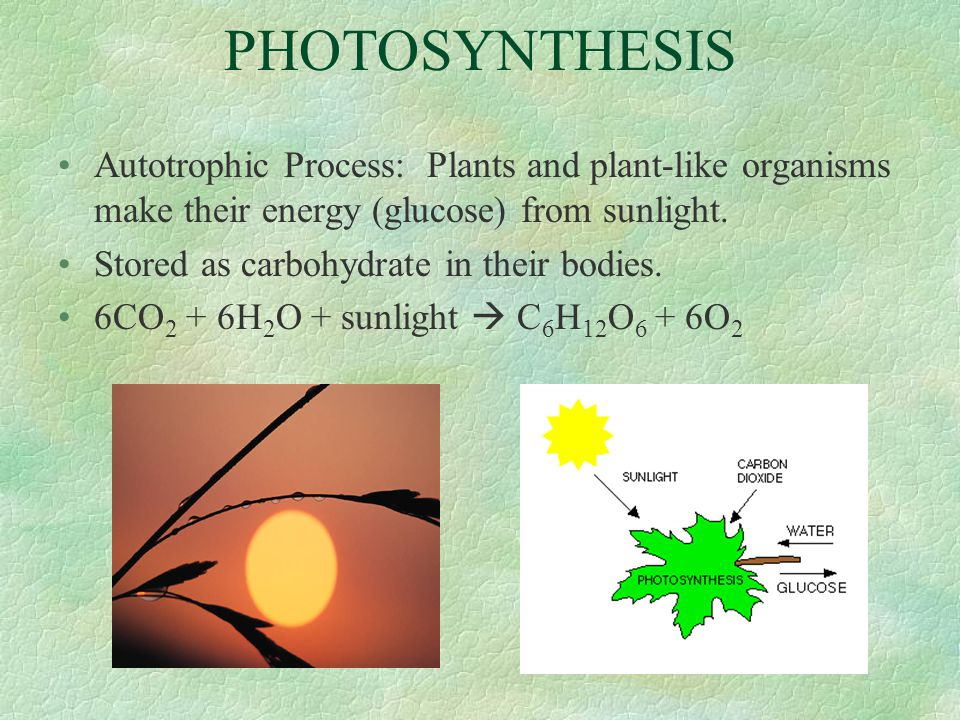PHOTOSYNTHESIS Autotrophic Process: Plants and plant-like organisms make their energy (glucose) from sunlight.