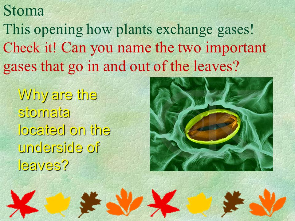 Stoma This opening how plants exchange gases. Check it