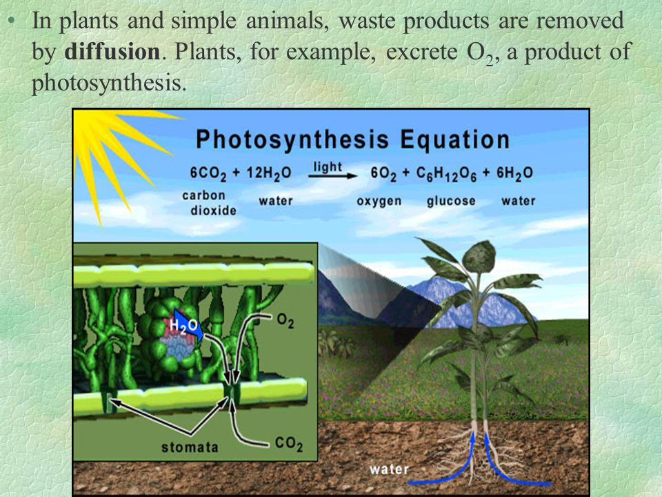 In plants and simple animals, waste products are removed by diffusion