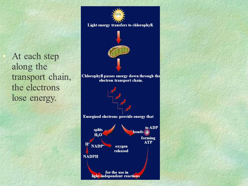 At each step along the transport chain, the electrons lose energy.