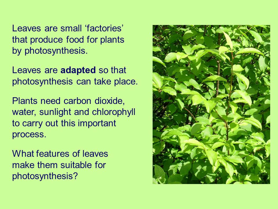 Leaves are small 'factories' that produce food for plants