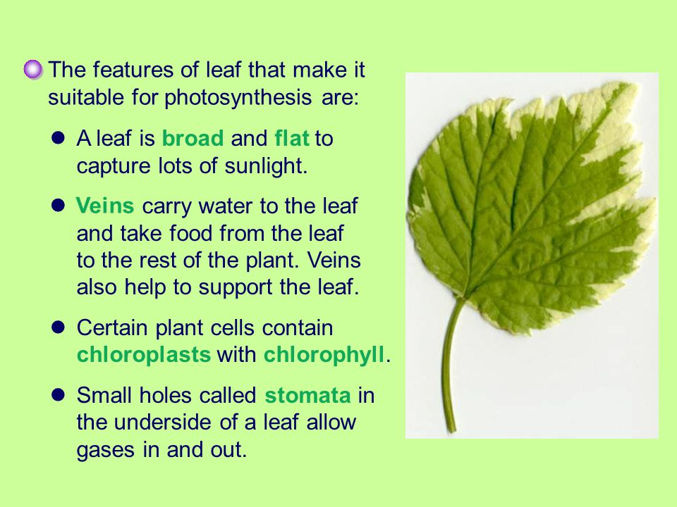 The features of leaf that make it suitable for photosynthesis are: