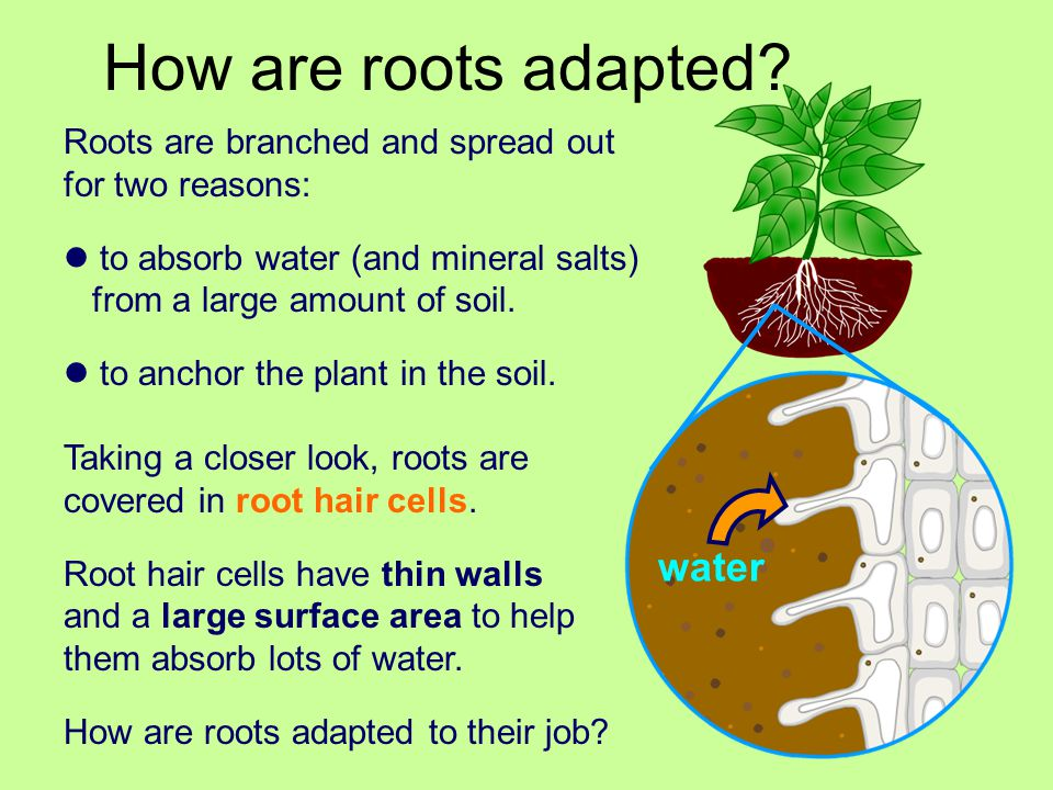 How are roots adapted water Roots are branched and spread out