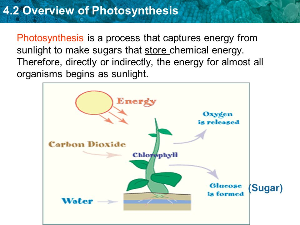 Photosynthesis is a process that captures energy from sunlight to make sugars that store chemical energy. Therefore, directly or indirectly, the energy for almost all organisms begins as sunlight.