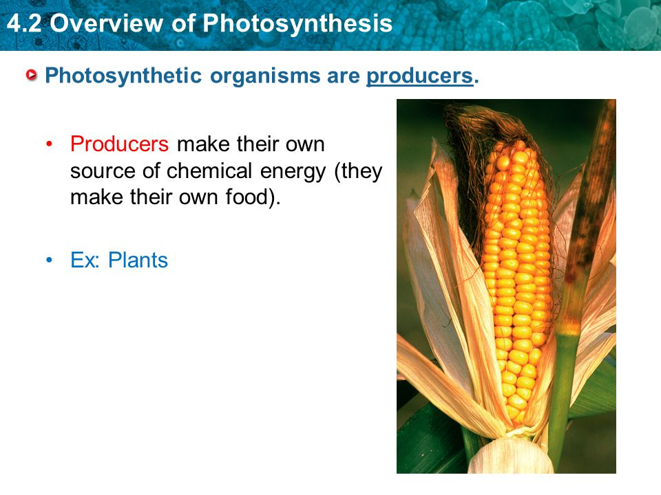 Photosynthetic organisms are producers.
