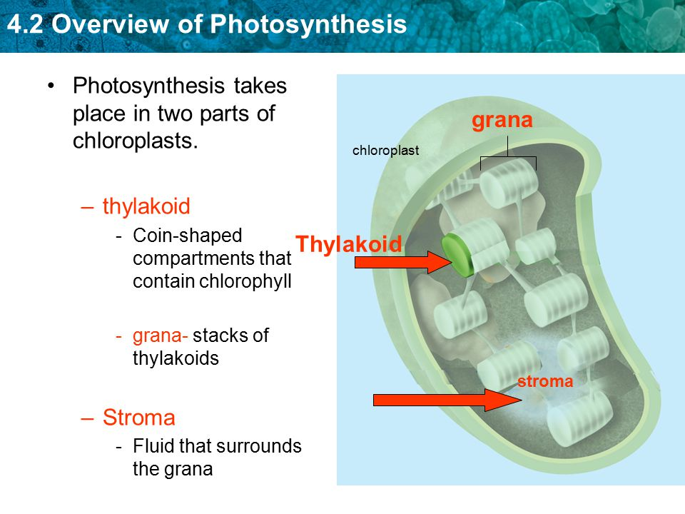 the two main components of photosynthesis The two components were separated by shaking a light petroleum solution of   chlorophyll's most important use, however, is in nature, in photosynthesis.