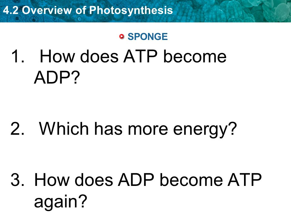 How does ADP become ATP again