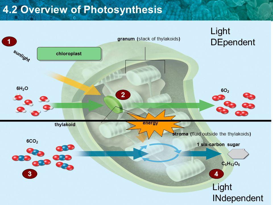 Light DEpendent Light INdependent 1 2 4 3 granum (stack of thylakoids)
