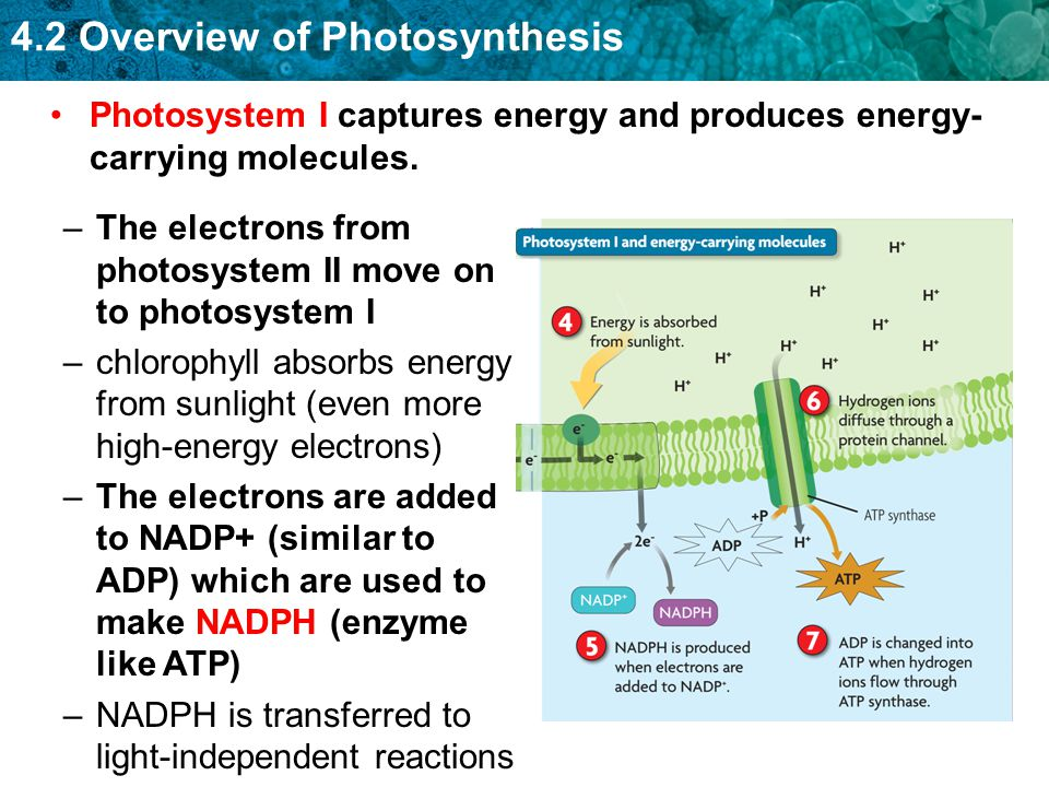 Photosystem I captures energy and produces energy-carrying molecules.
