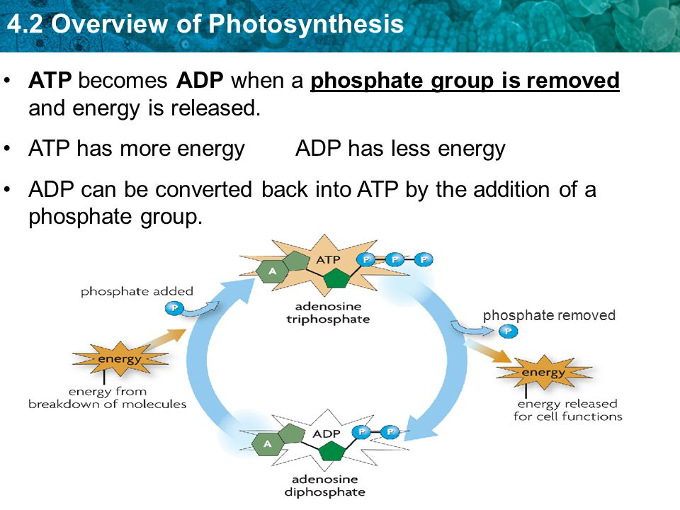 ATP has more energy ADP has less energy