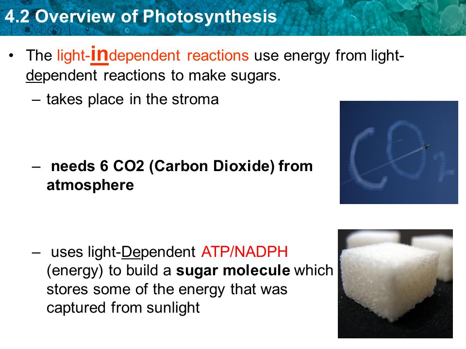 The light-independent reactions use energy from light-dependent reactions to make sugars.