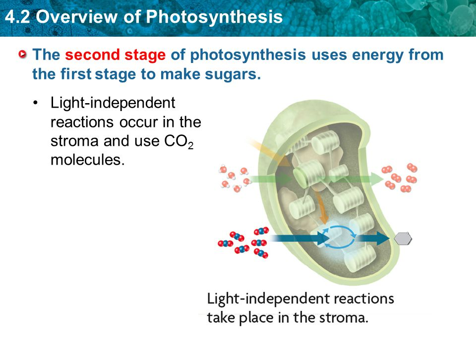 The second stage of photosynthesis uses energy from the first stage to make sugars.