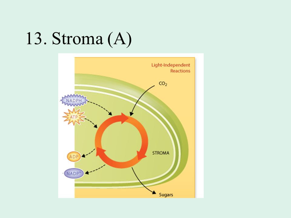 13. Stroma (A)