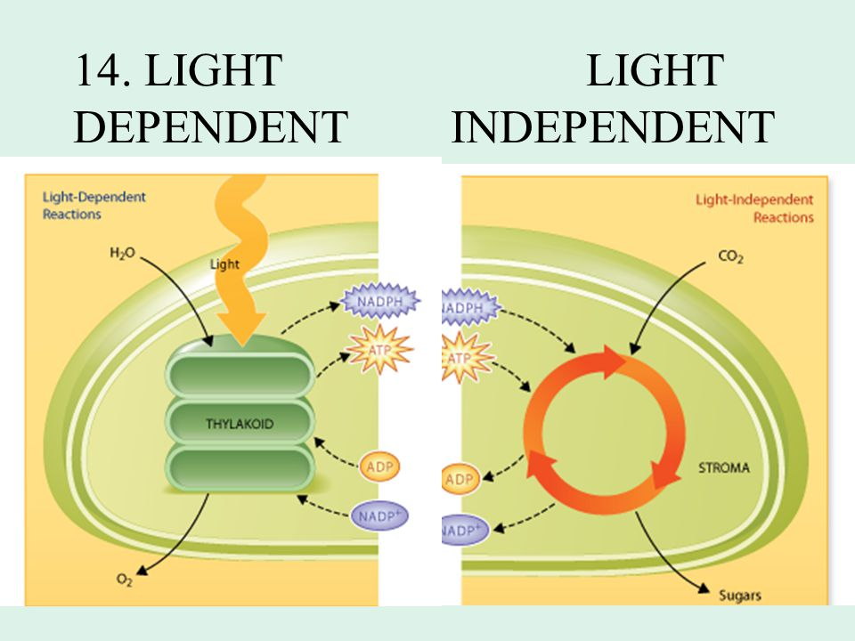 14. LIGHT LIGHT DEPENDENT INDEPENDENT