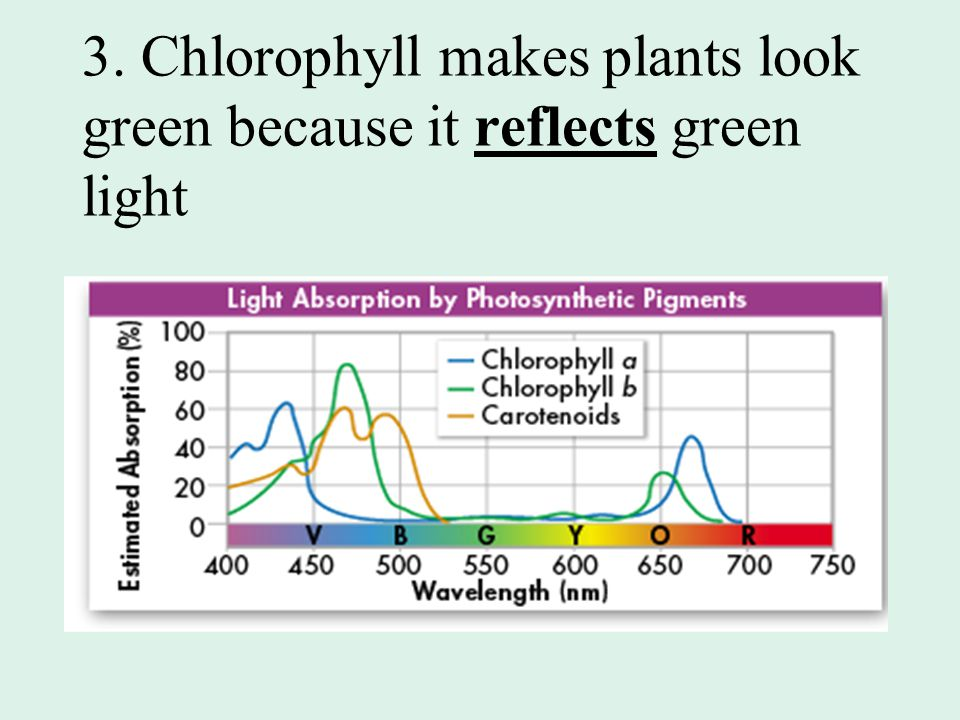 3. Chlorophyll makes plants look green because it reflects green light