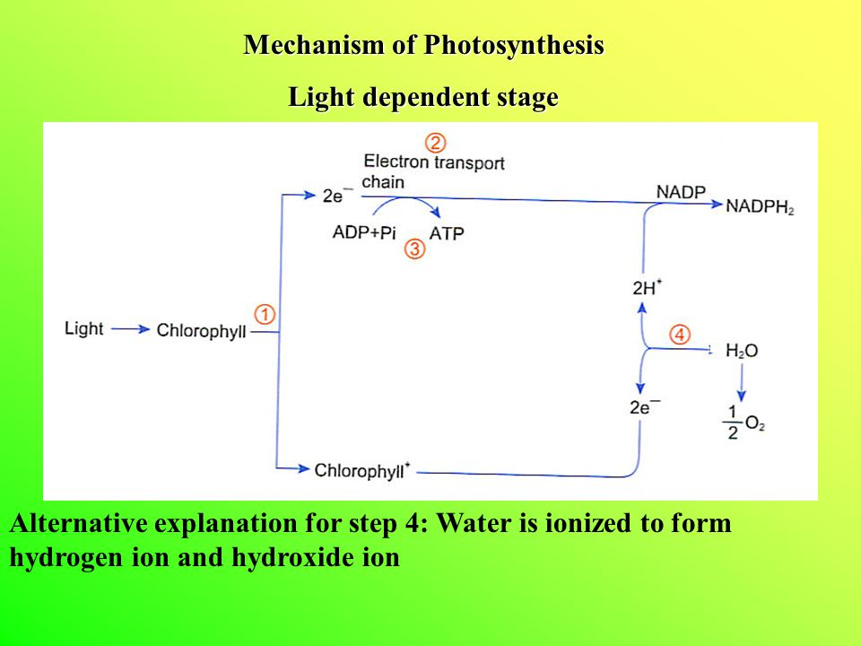 Mechanism of Photosynthesis