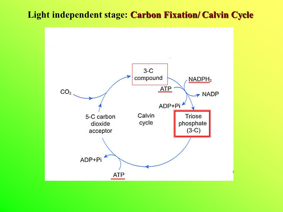 Light independent stage: Carbon Fixation/ Calvin Cycle