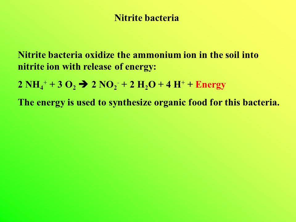 Nitrite bacteria Nitrite bacteria oxidize the ammonium ion in the soil into nitrite ion with release of energy:
